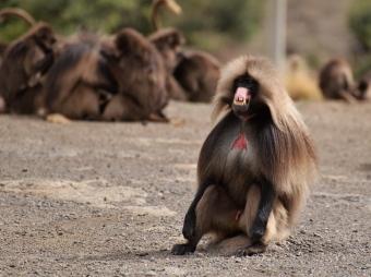baboon3